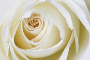 Motive wie diese weisse Rose kann keine Automatik richtik richtig belichten, Foto: Tim Reckmann_pixelio.de