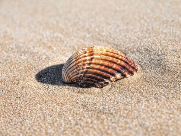 Muschel am Strand.jpg